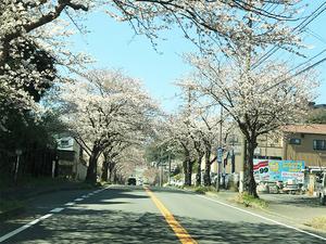 2018-tsuuken-sakura-namiki.jpg